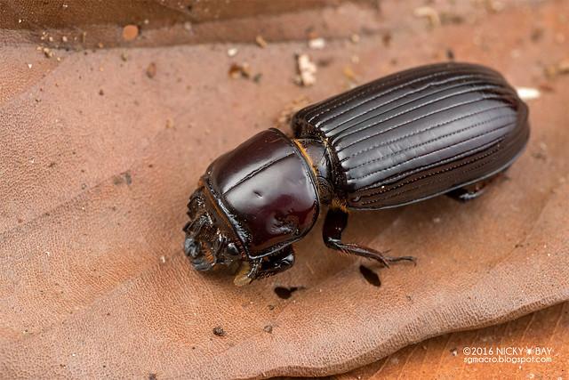 Bess beetle (Passalidae) - DSC_6825