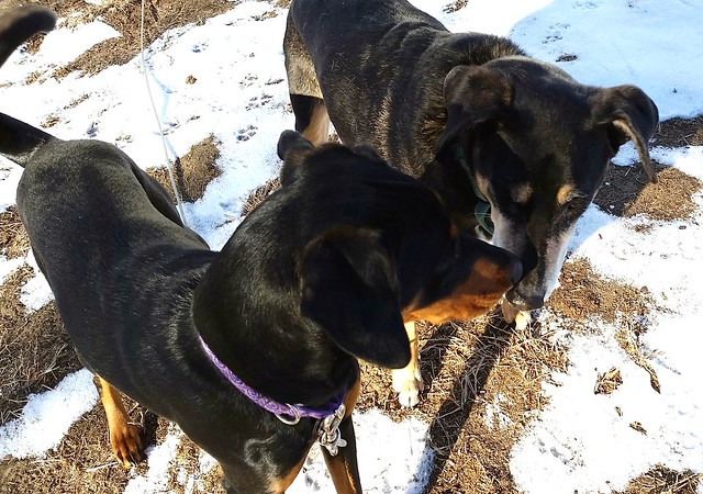 Penny and Tut discussing the spring snow #rescueddogs #adoptdontshop #dogsplayinginsnow #dogslovesnow #Lapdog Creations ©LapdogCreations