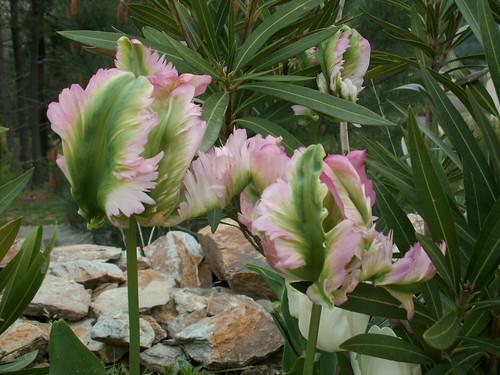 Tulipa 'Green Waves'