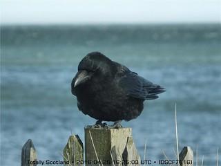 Broughty crow DSCF7516
