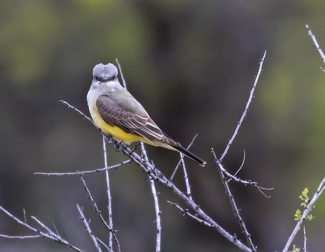 Western Kingbird 7-7D2-160416