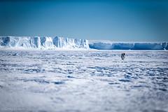 Lone Penguin