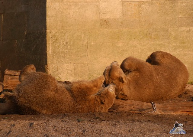 Eisbär Fiete im Zoo Rostock  0352