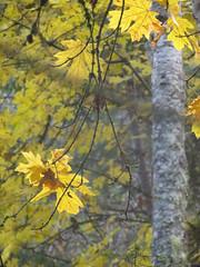 Maple leaaves