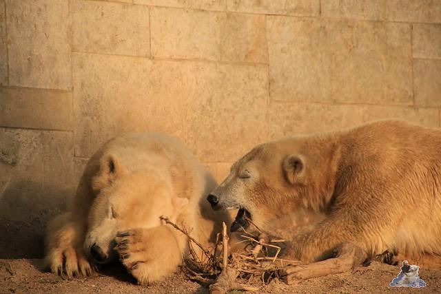 Eisbär Fiete im Zoo Rostock 06.02.2016  0205