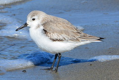 Sanderling at Alameda Point