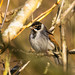 Reed Bunting, East Chevington, Northumberland by Greg's Old Feller