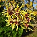 Witch Hazel In Sunshine After Storm Imogen by granmadunn