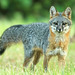 Gray Fox by DennisKirkland