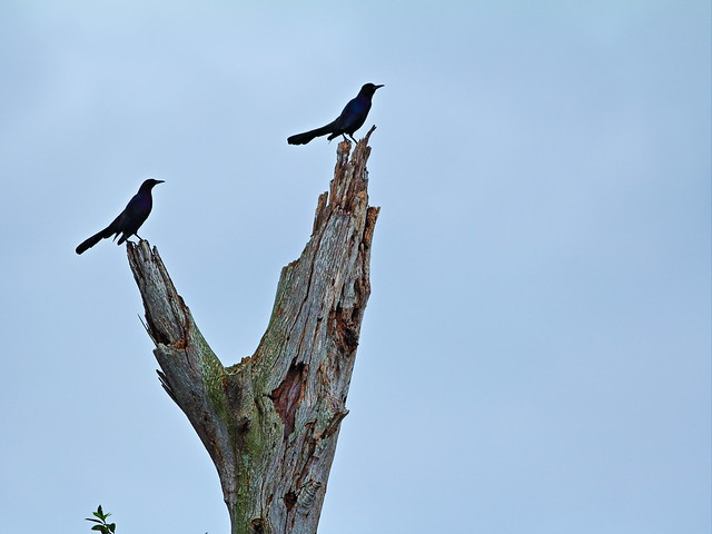 Boat-tailed Grackles 20160221