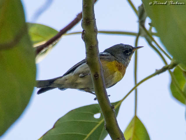 Northern Parula (UCR #177, RIverside #306)