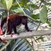 Small photo of Venezuelan red howler | Araguato (Alouatta seniculus)
