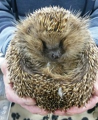 Andrew the blind hedgehog