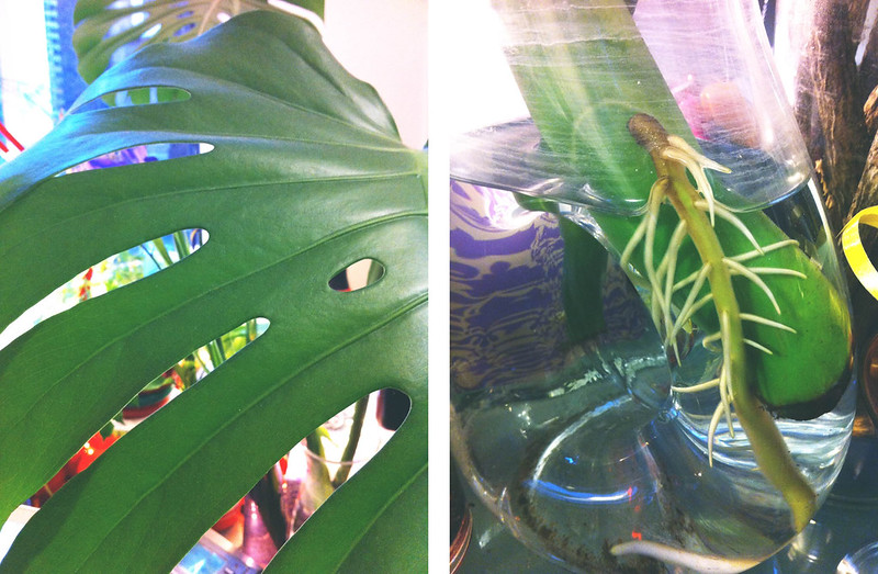 philodendron rooting