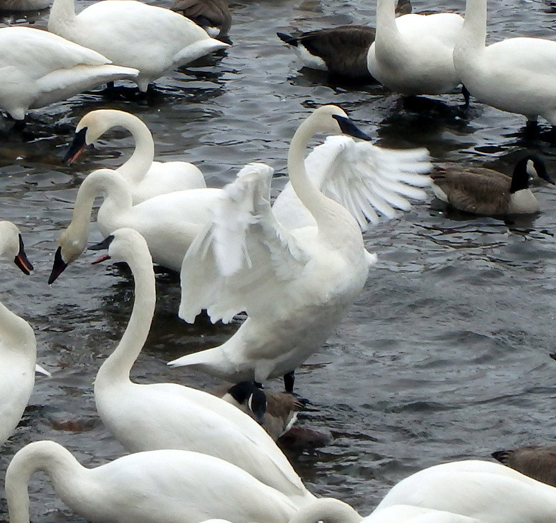 closeup of one swan stretching in shallow water