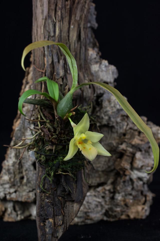 Miniatur-Orchideen Teil 3 - Seite 6 25265282800_4c5ba5e135_b