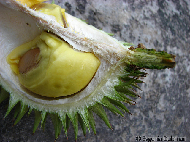 3 - Durian Isu (Durio isu)_ED_wm