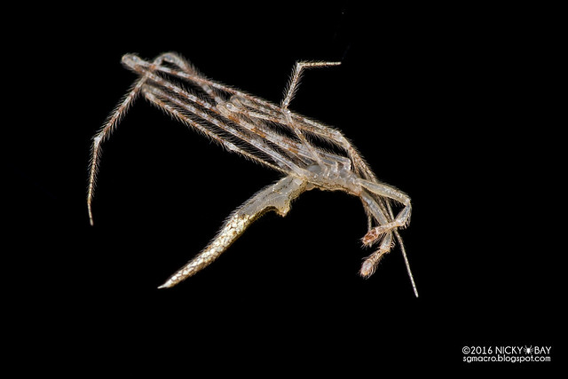 Comb-footed spider (Rhomphaea sp.) - DSC_8072