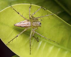 Burmese lynx spider