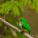 Puerto Rican Tody by Evolution.Photography