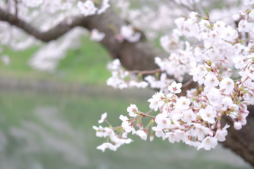 High key Sakura viewing at Chidorigafuchi moat 07
