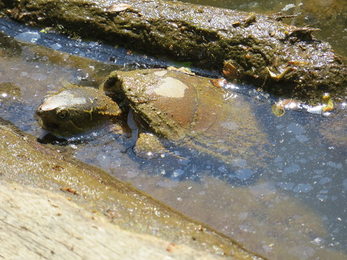 Turtle at McAlpine Creek Park