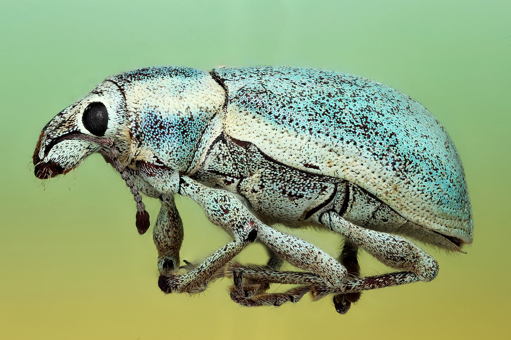 Florida Everglades, blue weevil, sample provided by UConn's Collection Facility, Courtesy of Jane O'Donnell