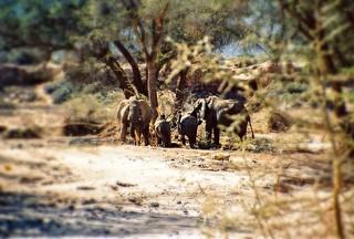 Elefantenherde mit Jungtieren im Aba-Huab Gebiet, Damarland