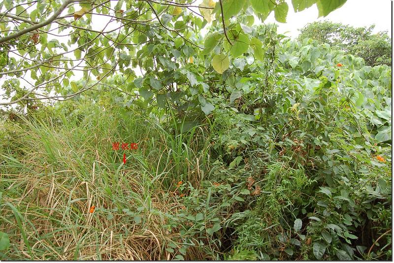 雜草覆蓋的箍桶寮山土地調查局圖根點