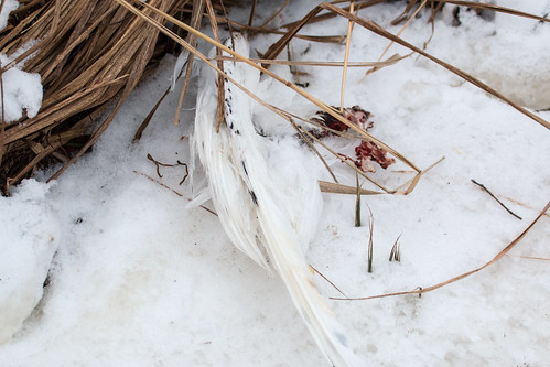 Dead Ivory Gull at Connor's Point in Superior