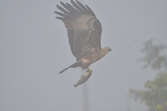 Eagle with fish_misty morning