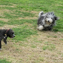 Herding my dog friends — it\'s what I do 🐕🐏🐕😘