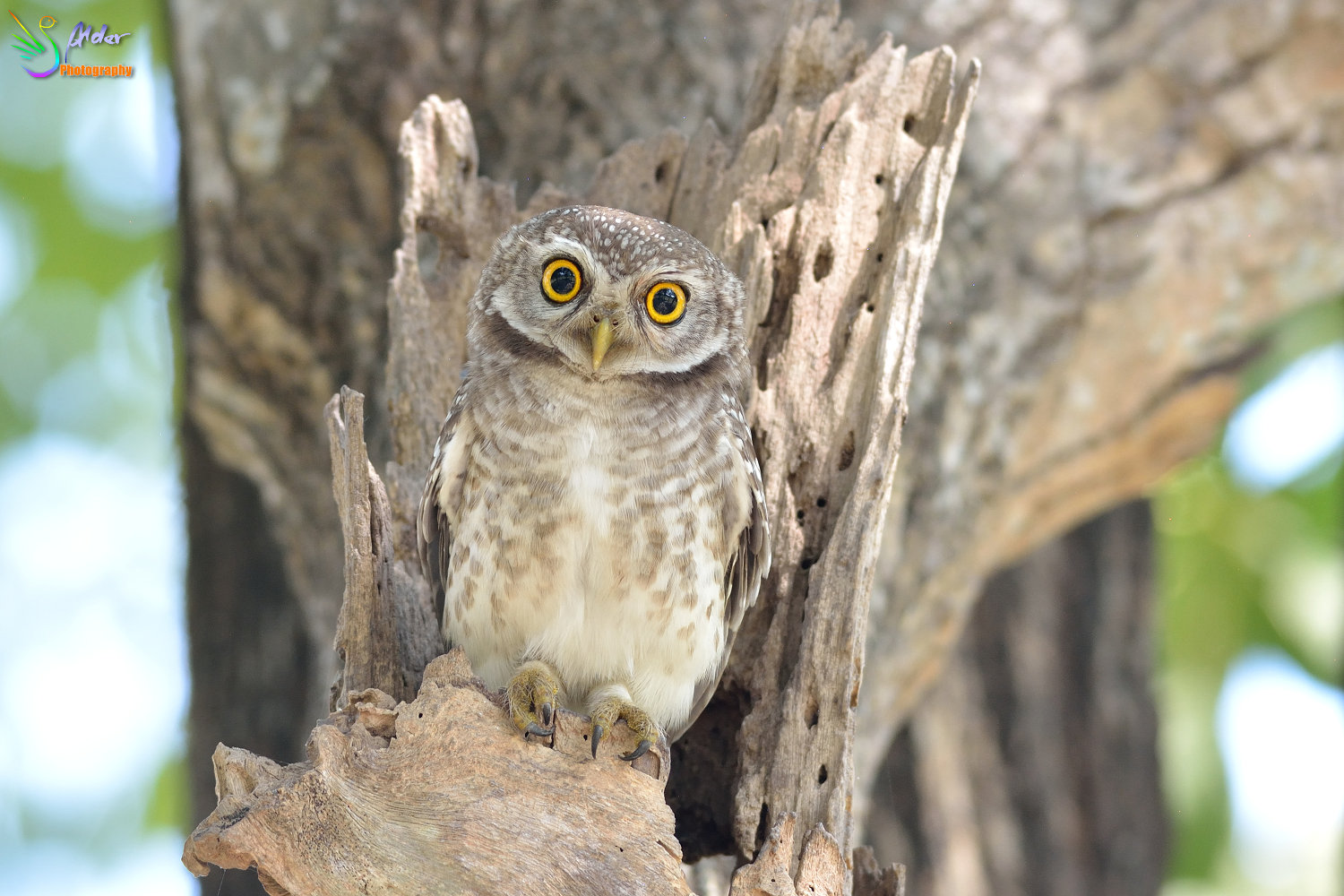 Spotted_Owlet_3181