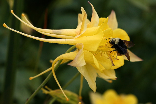 aquilegia_yellow_queen