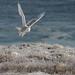 Snowy Owl, Deadman's Bay, NL, Feb 2016-3451 by barryhall08