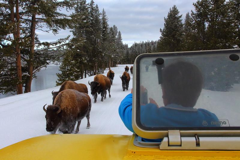 IMG_7603 Bison on Road