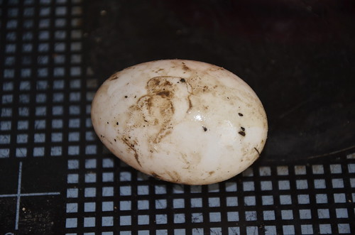 duck egg Feb 16