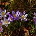 7893 Frühlingsgrüsse von der Krokusfamilie. Spring greetings from the crocus family. by Fotomouse