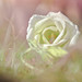 ESSENCE: WHITE ROSES