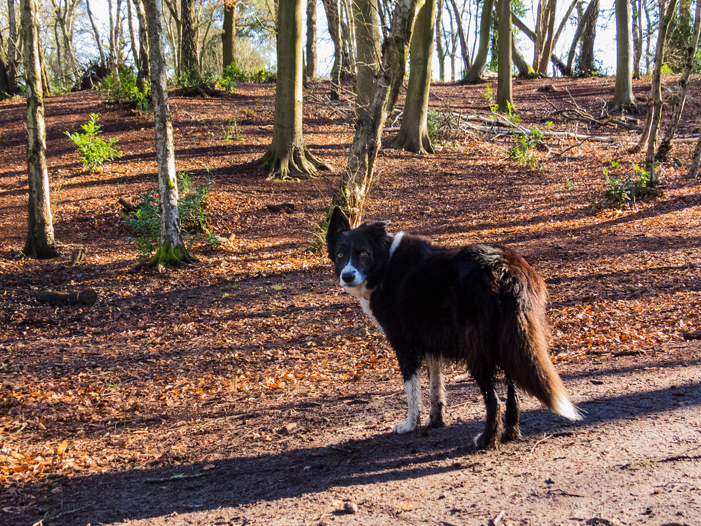 Our friend Barney, the Border Collie