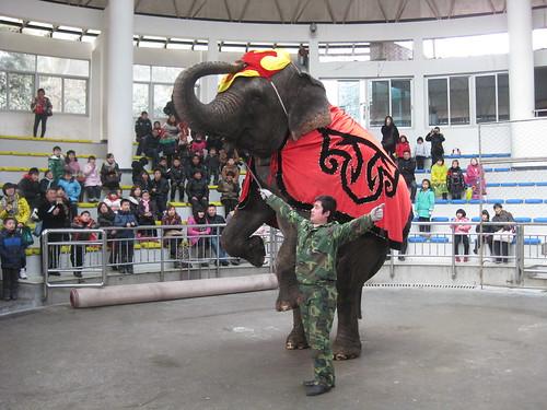 An elephant trainer with a bullhook, Hangzhou zoo, China February 2011