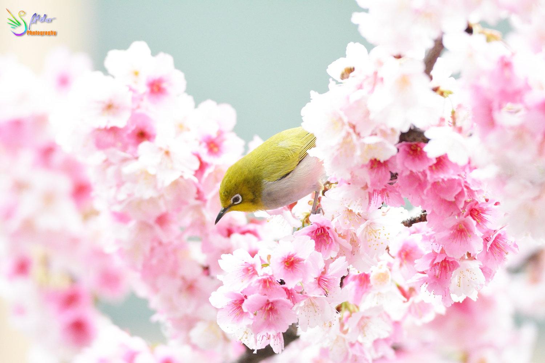 Sakura_White-eye_8167