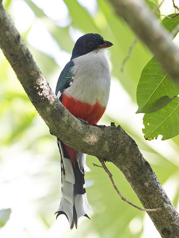 Cuban Trogan    endemic species