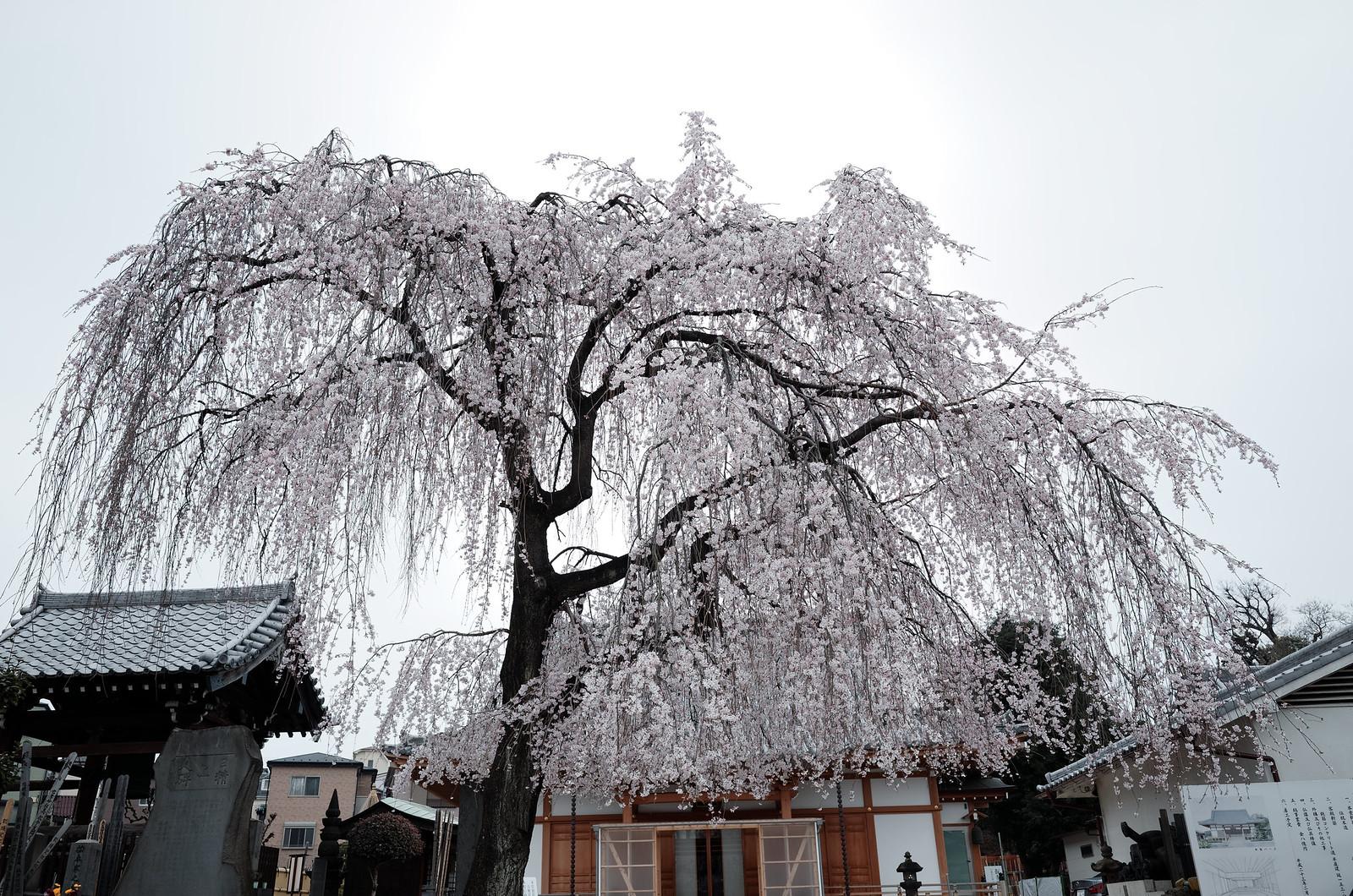長明寺の枝垂れ桜