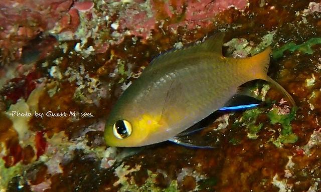 コビトスズメダイ幼魚。春らしく幼魚が増えてきました。