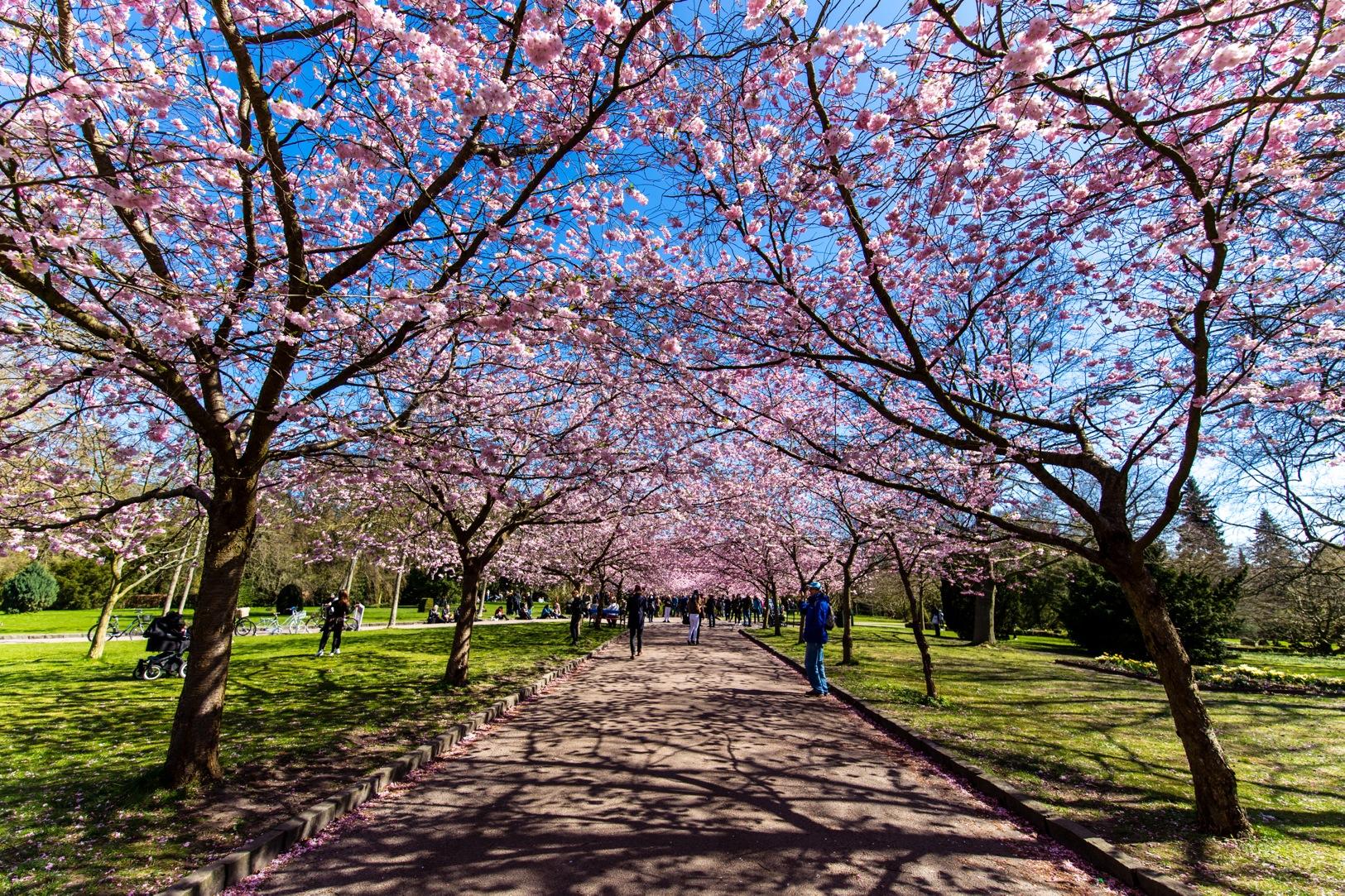 Bispebjerg Sakura-3384