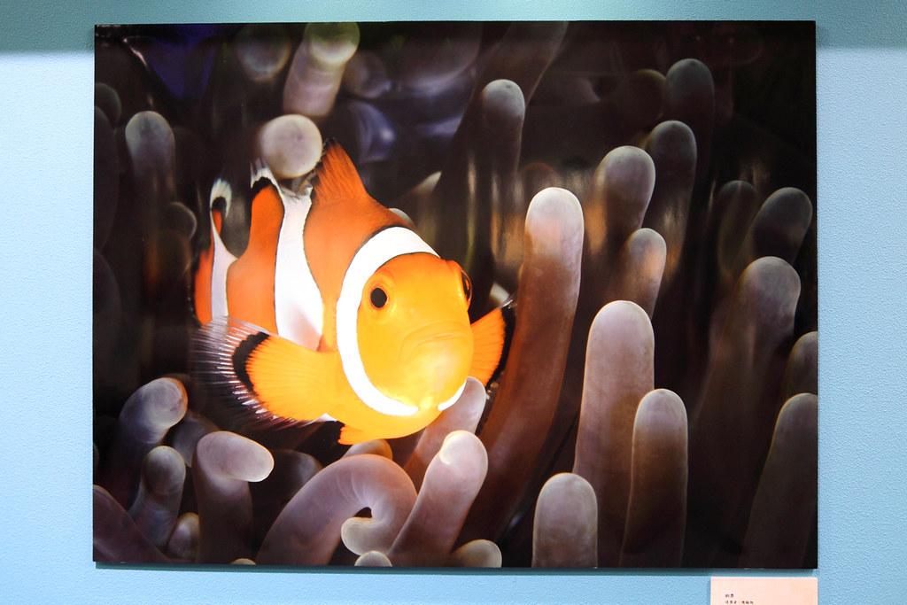 IMG_1496_銅獎_公子小丑魚