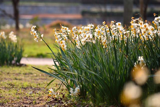 スイセン Narcissuses (4)