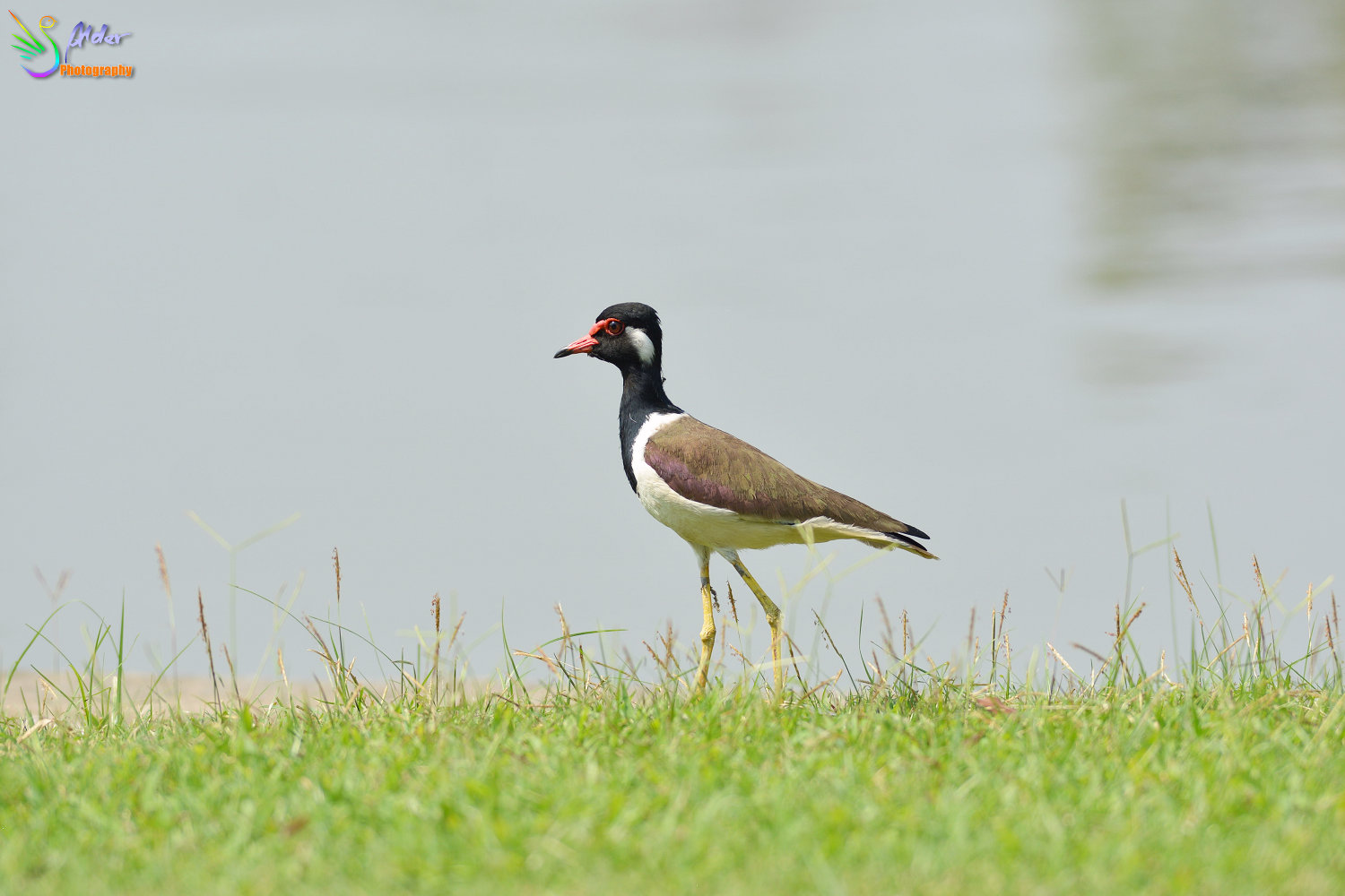 Red-wattled_Lapwing_9618_IJFR