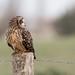 Hibou des marais Asio flammeus - Short-eared Owl by Cathie Clemot